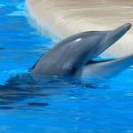 bottlenose-dolphin-406763_1920